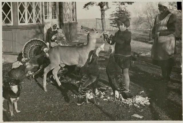 Pilkude pere 1933: Helve söödab metsnik Paul Küütsi kodustatud kitse